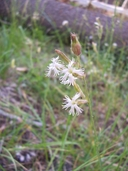 Silene occidentalis ssp. occidentalis