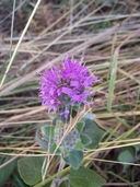 Hairy Coyote Mint