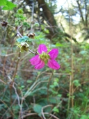 Rubus spectabilis var. spectabilis