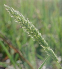 Phalaris lemmonii