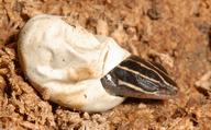 Plestiodon fasciatus