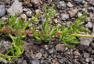 Artemisia ludoviciana ssp. incompta