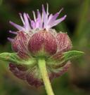 Monardella odoratissima ssp. glauca