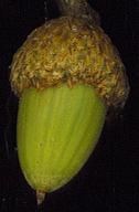 Quercus parvula var. parvula