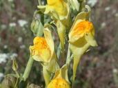 Linaria genistifolia ssp. dalmatica