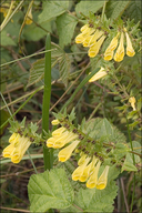 Melampyrum pratense ssp. vulgatum