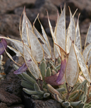 Anelsonia eurycarpa