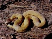 Storeria occipitomaculata obscura