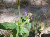 Prunella vulgaris var. lanceolata