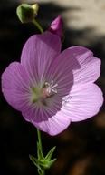 Sidalcea asprella ssp. asprella