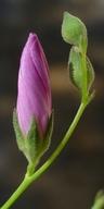 Sidalcea malviflora ssp. asprella