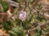 Sidalcea hickmanii ssp. parishii