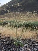 Eriogonum hookeri