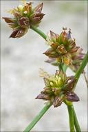 Juncus articulatus