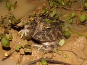 Colombian Horned Frog