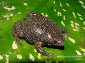 Colombian Plump Frog