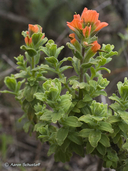 Castilleja latifolia
