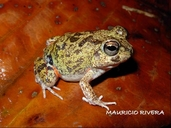 Colombian Four-eyed Frog