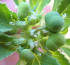 Euphorbia dentata