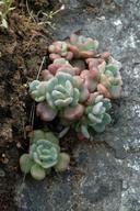 Sedum laxum ssp. laxum