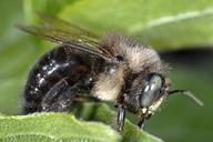 Xylocopa tabaniformis orpifex