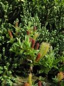 Salix nivalis