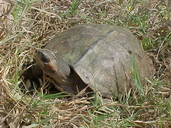 Brown River Turtle