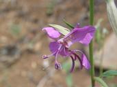 Clarkia borealis ssp. borealis