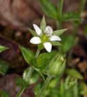 Arenaria serpyllifolia var. serpyllifolia