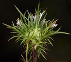 Navarretia intertexta ssp. propinqua