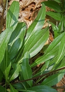 Helianthella californica