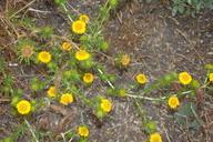 Centromadia pungens ssp. laevis