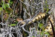 Agkistrodon piscivorus piscivorus