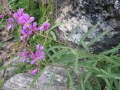 Chamerion angustifolium ssp. circumvagum