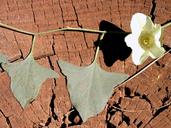 Calystegia atriplicifolia ssp. buttensis