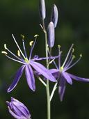 Camassia quamash ssp. breviflora