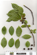 Birch-leaf Coffeeberry