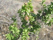 Crossosoma bigelovii