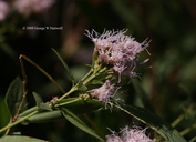 Ageratina occidentalis