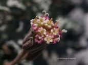 Chaenactis nevadensis