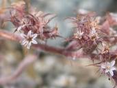 Chorizanthe parryi