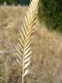 Agropyron cristatum ssp. pectinatum