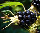 Rubus laciniatus