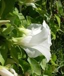 Calystegia sepium ssp. sepium