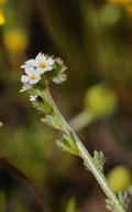 Plagiobothrys leptocladus
