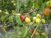 Prunus ilicifolia ssp. ilicifolia