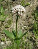Valeriana sitchensis
