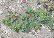 Aconogonon newberryi