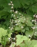 Tiarella trifoliata var. trifoliata