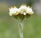 Antennaria corymbosa